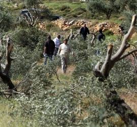 رام الله: مستوطنون يقتلعون أكثر من (300) شجرة زيتون في المزرعة الغربية