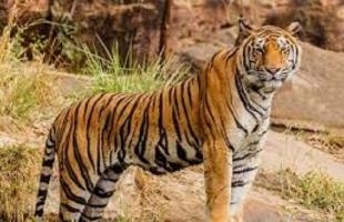 معركة إثبات وجود بين نمرين في غابة هندية .. شاهد