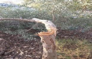 مستوطنون يقطعون مجموعة كبيرة من الأشجار في طولكرم