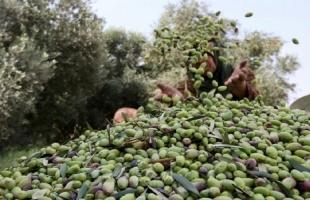 مستوطنون يسرقون ثمار الزيتون جنوب نابلس