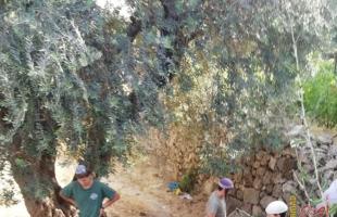 مستوطنون يقطعون أشجار زيتون جنوب نابلس