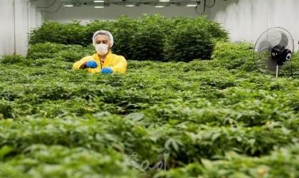 """الاستثمار في """"الكيف المغربي"""" يجذب شركات إسرائيلية لصناعة الأدوية"""