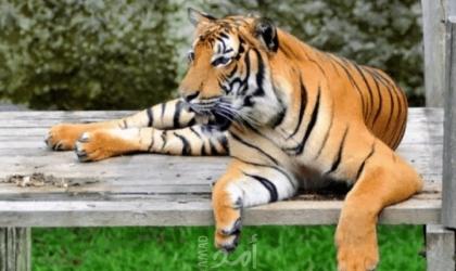 إصابة نمر في حديقة حيوانات سان دييغو بكاليفورنيا فيروس كورونا